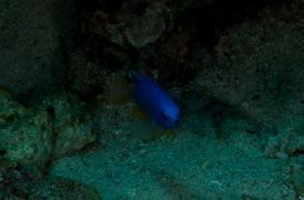Blauer Fisch-1