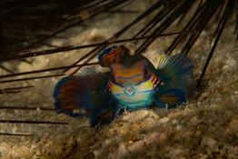 Mandarin Fische-2