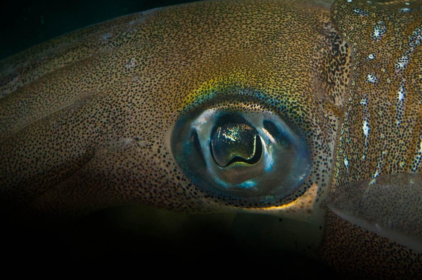 Tintenfisch (Sepia)