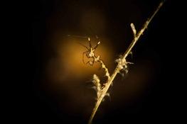 Sceleton Shrimp