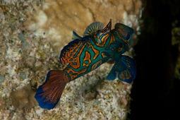 Mandarinfisch, Wakatobi Area, Pealgian 2011
