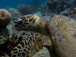 2007 Ägypten Lahmi Bay Hausriff, Schildkröte