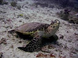 Raja Ampat, Schildkröte