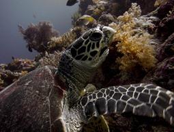 Schildkröte am Wakatobi Hausriff