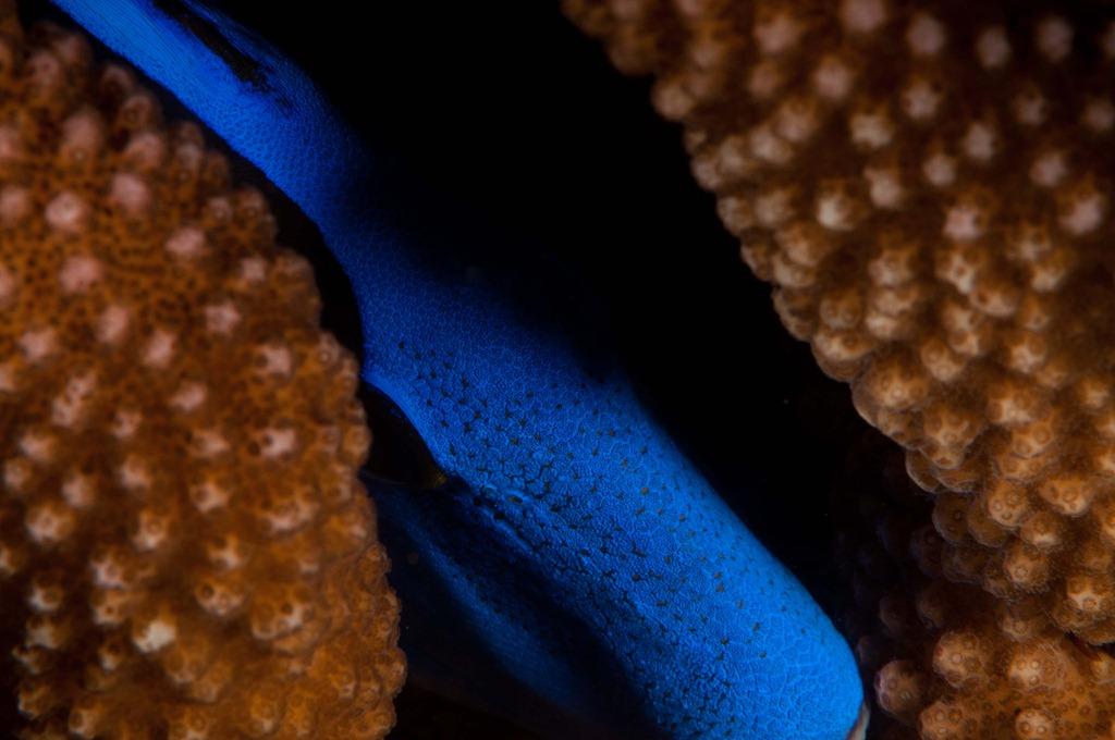 Plaetten-Doktorfisch, Komodo 2010